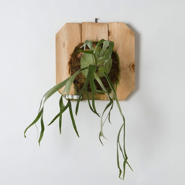 Staghorn-Fern-Mounted-Terrain