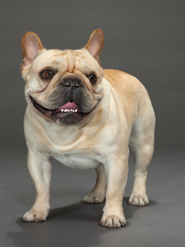 03-french-bulldog-670