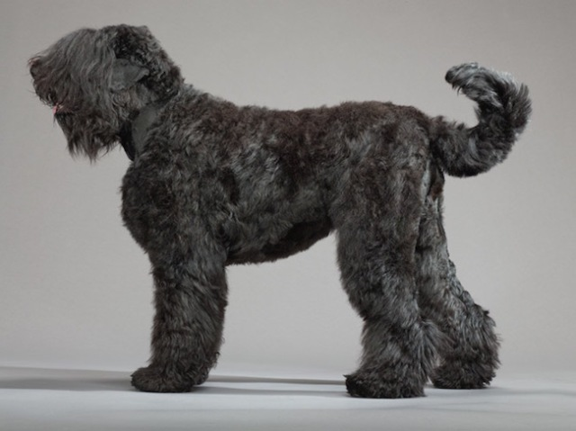 24-black-russian-terrier-670