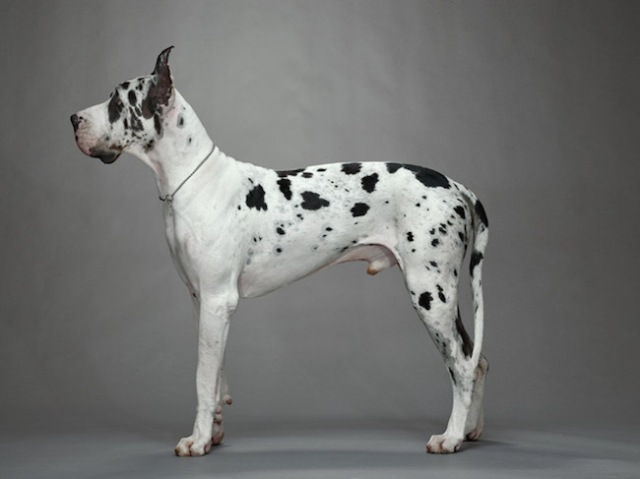 26-harlequin-colored-great-dane-niko-670