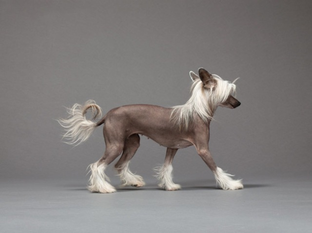 32-chinese-crested-670