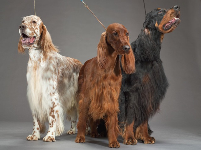33-english-irish-gordon-setters-670