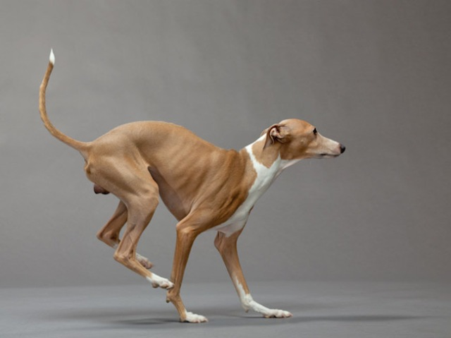 34-italian-greyhound-670