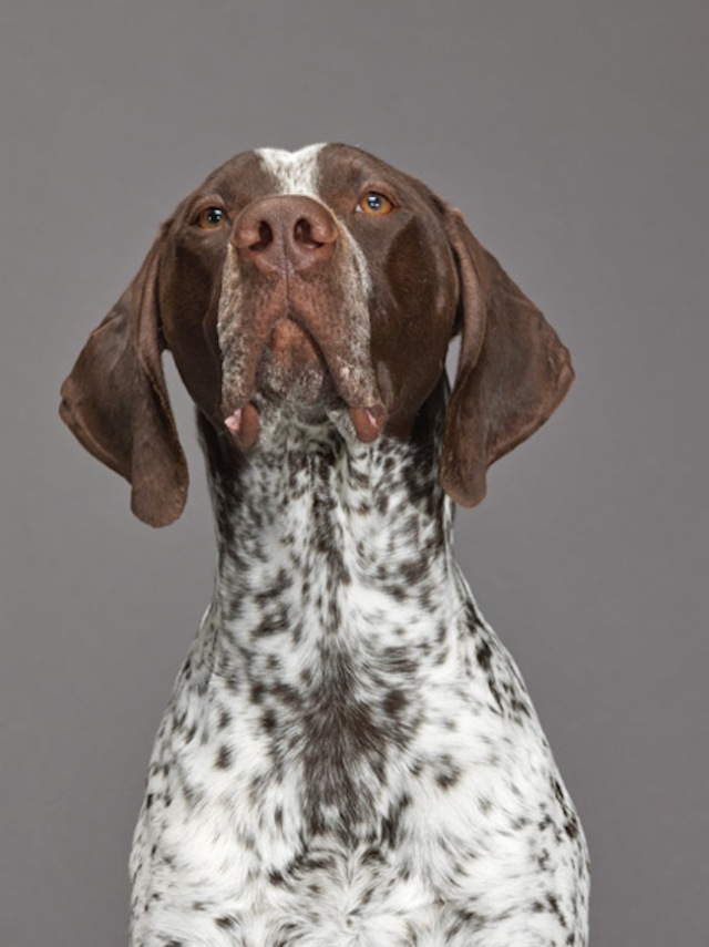 40-german-shorthaired-pointer-670