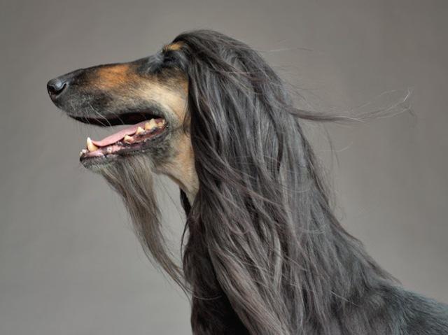 47-afghan-hound-leo-670