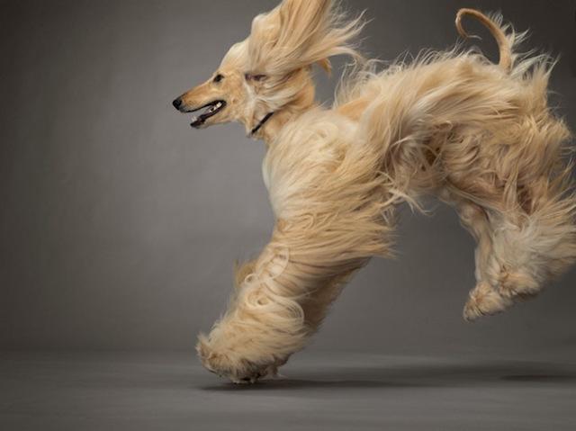 49-afghan-hound-670